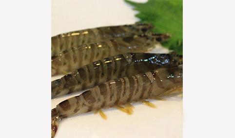 斑节虾(竹节虾)-海之兴
