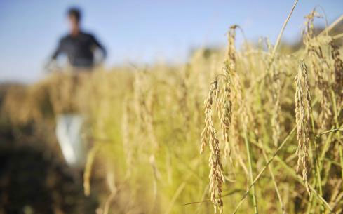 水稻要补贴?还是要涨粮价?