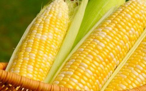 九月伊始,玉米消费回升态势正在酝酿