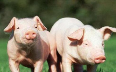 生猪价格连续13周下降 大体每公斤下降了12块钱
