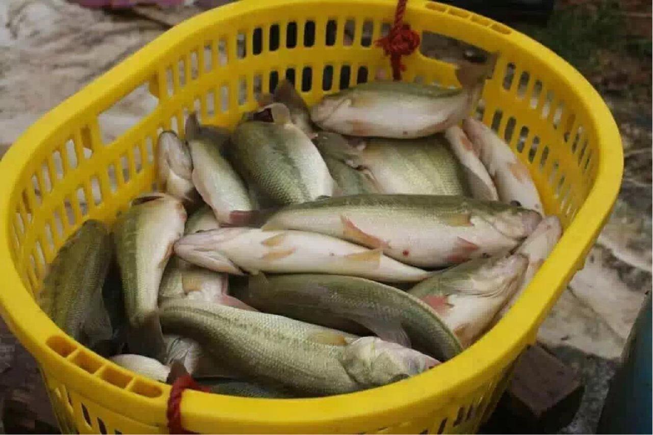加州鲈鱼价24元/斤!鱼价涨涨涨!