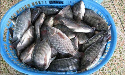 小规格走量拉低罗非鱼价,跌0.5元/斤!