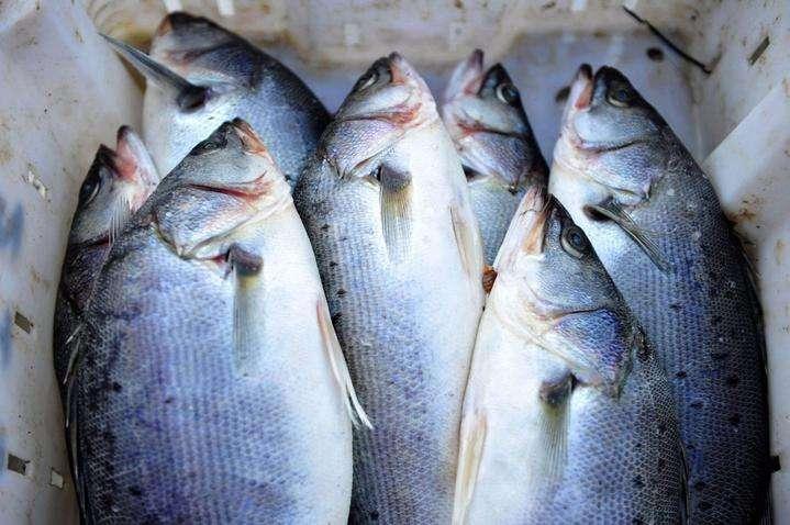 缺鱼,海鲈10.5元/斤,海鲈鱼的春天要回来了?