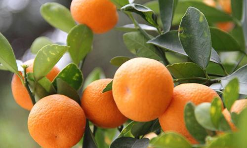 秋季一天吃多少橘子最养生!